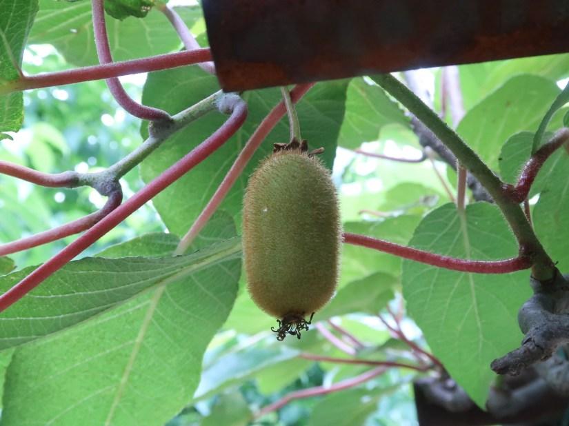 Kiwifruit/ キウイフルーツ