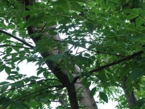 キハダ 実を付けている木の様子