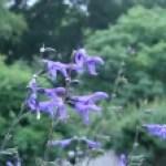 Anis-scented sage/ サルビア・グアラニティカ