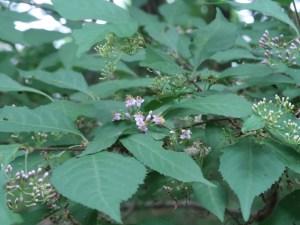 ムラサキシキブ 花の咲いている様子