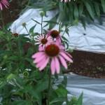 エキナセア ムラサキバレンギク 花の様子