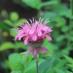 タイマツバナ ピンク 花の様子