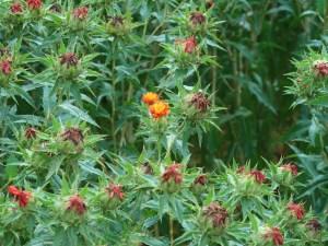 ベニバナ 花の咲いている様子