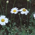 シロバナムシヨケギク 花の様子