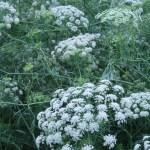 ドクゼリモドキ 花の咲いている様子