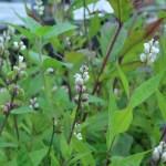 セネガ (ヒロハセネガ) 花の姿