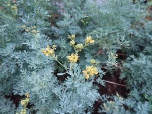 ヘンルーダ 花の咲いている様子