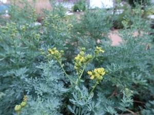 ヘンルーダ 花の様子