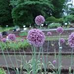 Allium アリウムの1種? 花の様子