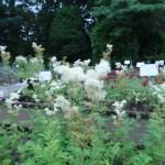 セイヨウナツユキソウ 花の咲いている様子