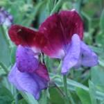 Perennial peavine/ ヒロハノレンリソウ