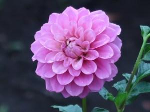 ダリア 赤紫色の花の姿