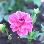 ダリア 赤紫の花の姿