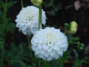 ダリア 白色の花の姿