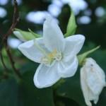 White orchid-tree / モクワンジュ