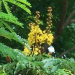 コウエンボク 花の様子