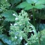 Clinopodium micranthum/ イヌトウバナ
