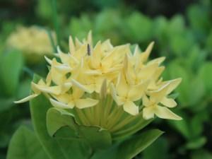 サンタンカ 黄色い花の姿