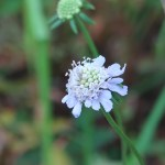 Japanese Pincushion Flower/ マツムシソウ