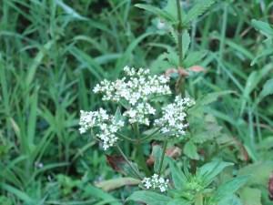 オトコエシ 花の様子
