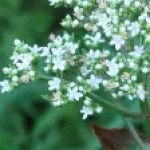 Patrinia villosa/ オトコエシ