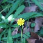ブタナ 花の様子