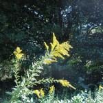セイタカアワダチソウ 花の咲いている様子