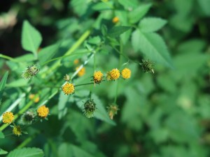 コセンダングサ 花の様子