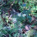 ノコンギク 花の咲いている姿