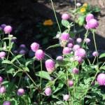 センニチコウ 花の咲いている様子