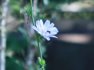 チコリ 花の姿