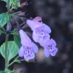 カラミント 花の姿