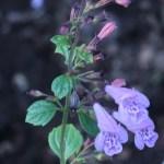 カラミント 花の様子