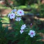 クサキョウチクトウ 花の様子