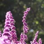 メキシカンブッシュセージ 花の様子