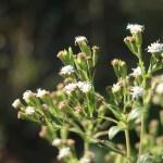 ステビア 花の様子