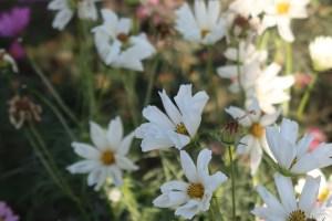 コスモス 品種名 ハミングバードホワイト