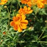 キバナコスモス 品種名 マンダリン