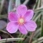 シュウメイギク ピンクの花の姿
