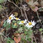 リュウノウギク 花の咲いている姿