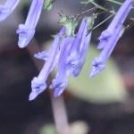 セキヤノアキチョウジ 花の姿 アップ