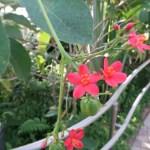 テイキンザクラ 花の咲いている様子