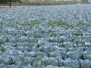 キャベツ キャベツ畑