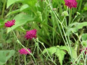 タカネマツムシソウ 花の様子