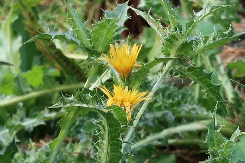 Prickly Sow-thistle/ オニノゲシ