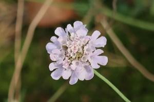 Scabiosa cinerea スカビオサの一種