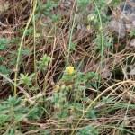 へリアンテムム・ヌムラリウム  花の咲いている草の様子