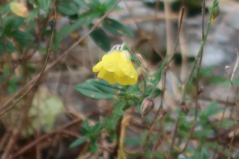 Common rock-rose/ へリアンテムム・ヌムラリウム