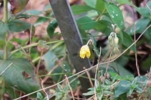 へリアンテムム・ヌムラリウム  花の咲いている様子