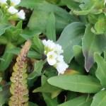 シヴェレキアポドリカ 花の様子